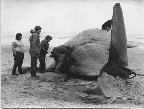 Whale washed up on Holcomb Beach - Norfolk